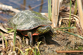 Turtle on log